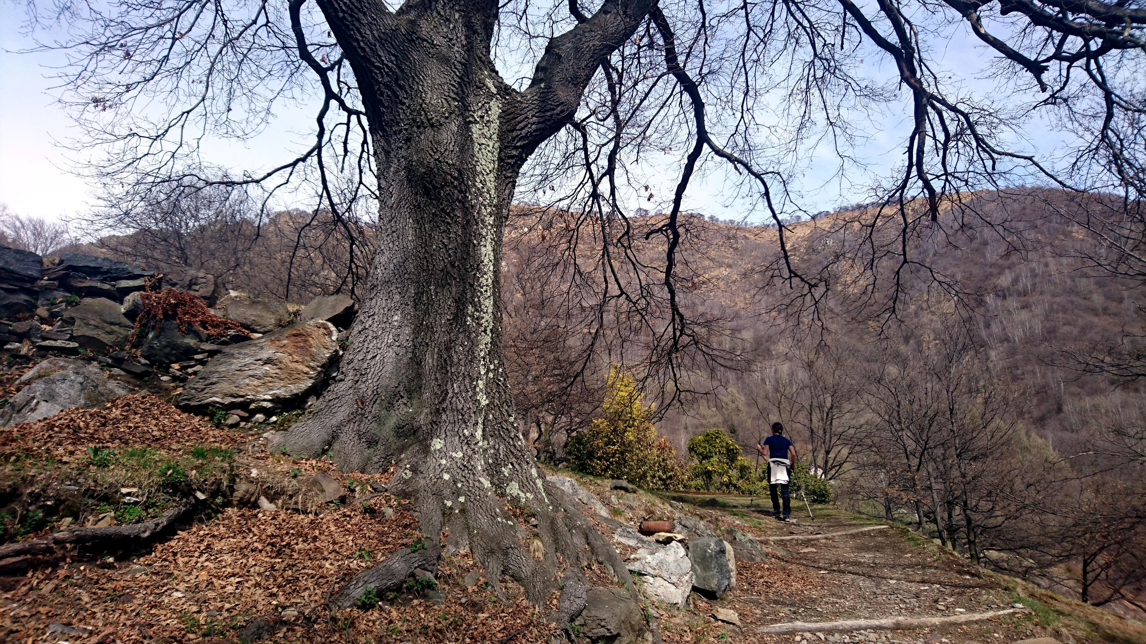 in questa zona si trovano moltissimi alberi maestosi e antichi, soprattutto quercie e faggi isolati.