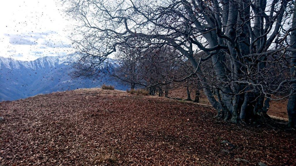 altre foglie ballerine: il bosco, ripido sul versante della Val Grande, sembra essere in festa, come se sentisse la primavera
