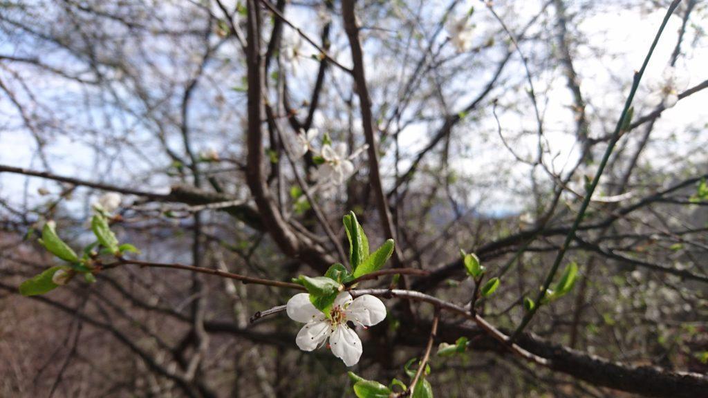 la natura si risveglia, i prunus sono carichi di fiori quando gli altri alberi hanno ancora appena ripreso la fase vegetativa e si intravedono i primi verdissimi germogli