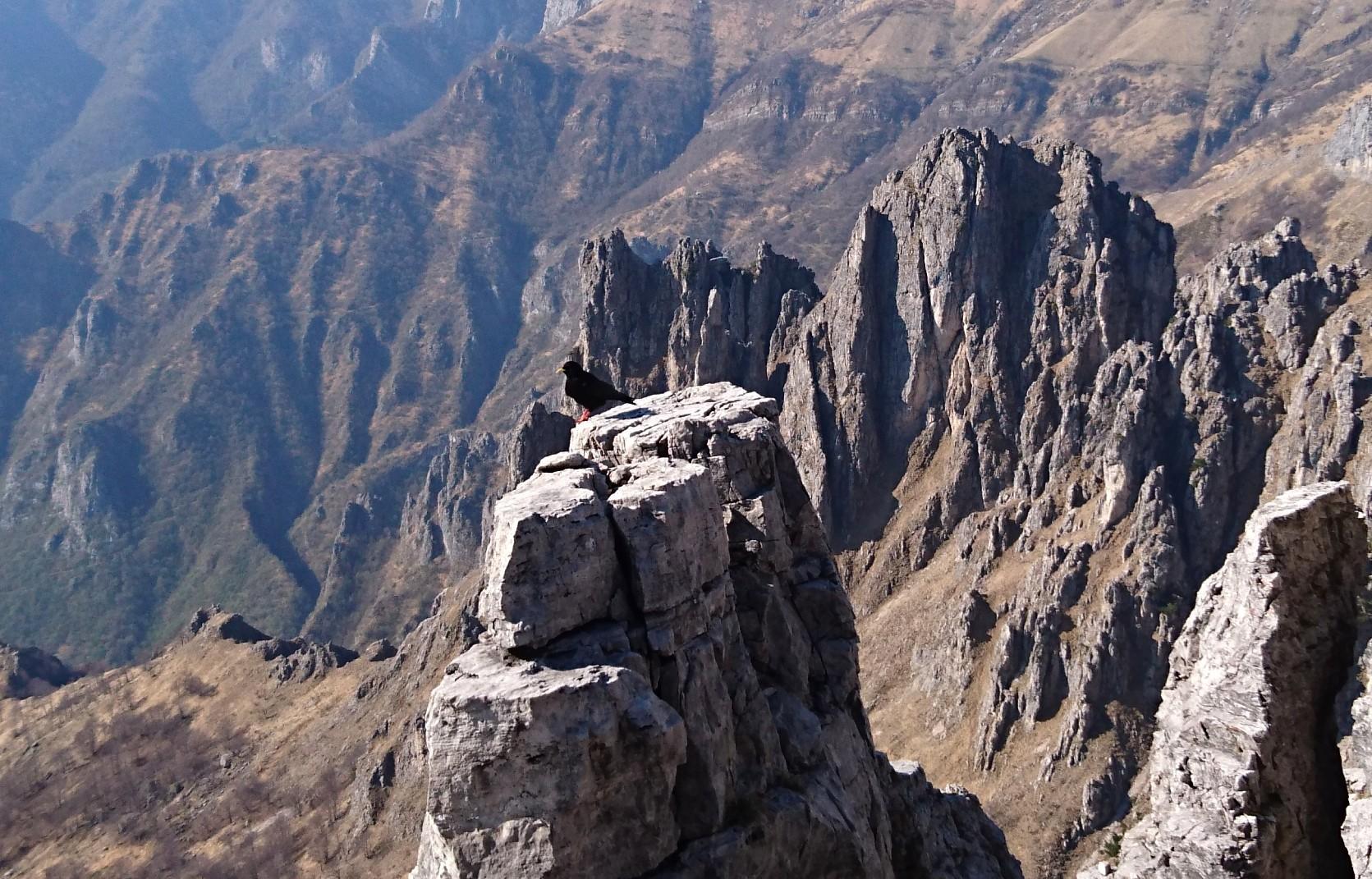 Gracchio alpino in attesa accanto alla cima, nella speranza che ci sia un po' di pappa anche per lui