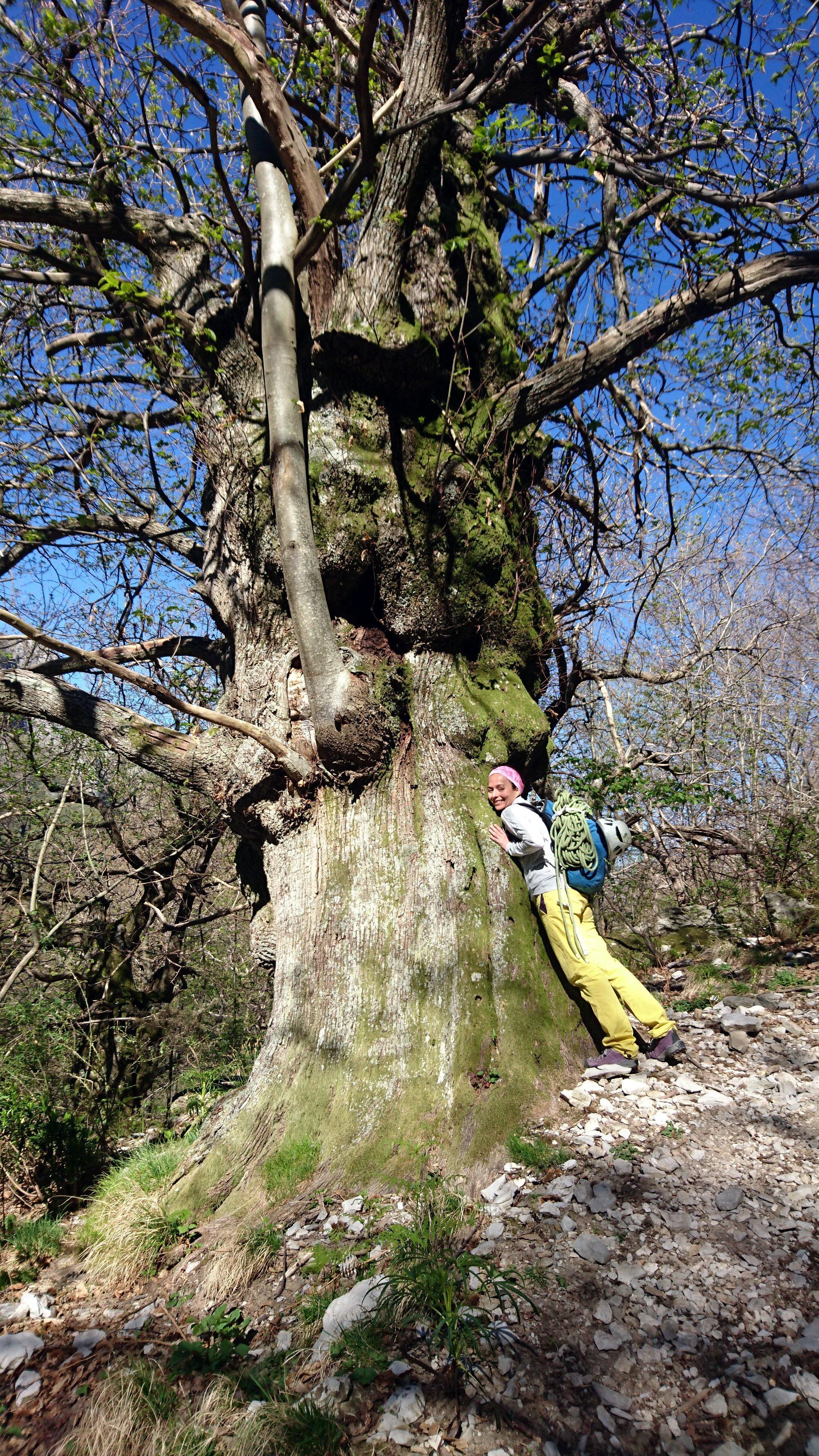 In salita verso la Capanna Garnerone troviamo diversi alberi antichi dal fusto gigante