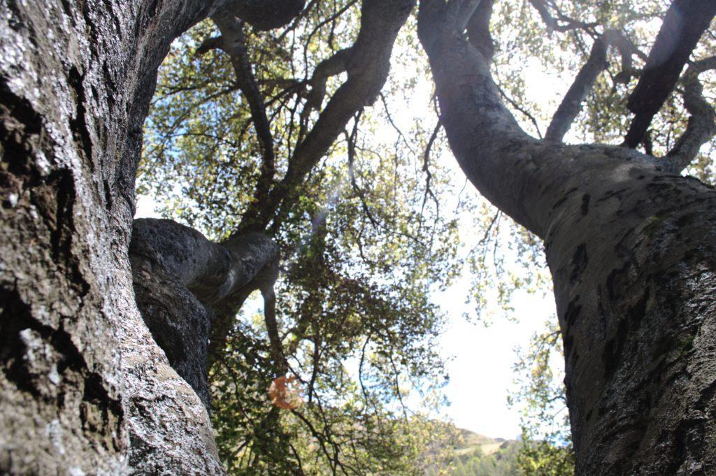 il faggio del Piancone: fotografarlo per intero è quasi impossibile. lui da solo è una foresta