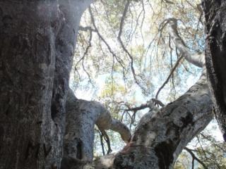 la luce magica che filtra tra le foglie del grande faggio