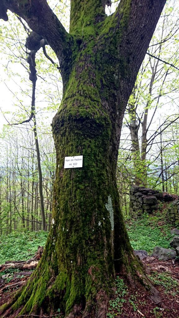 Questo bell'albero muschiato ospita la targa dell'alpe