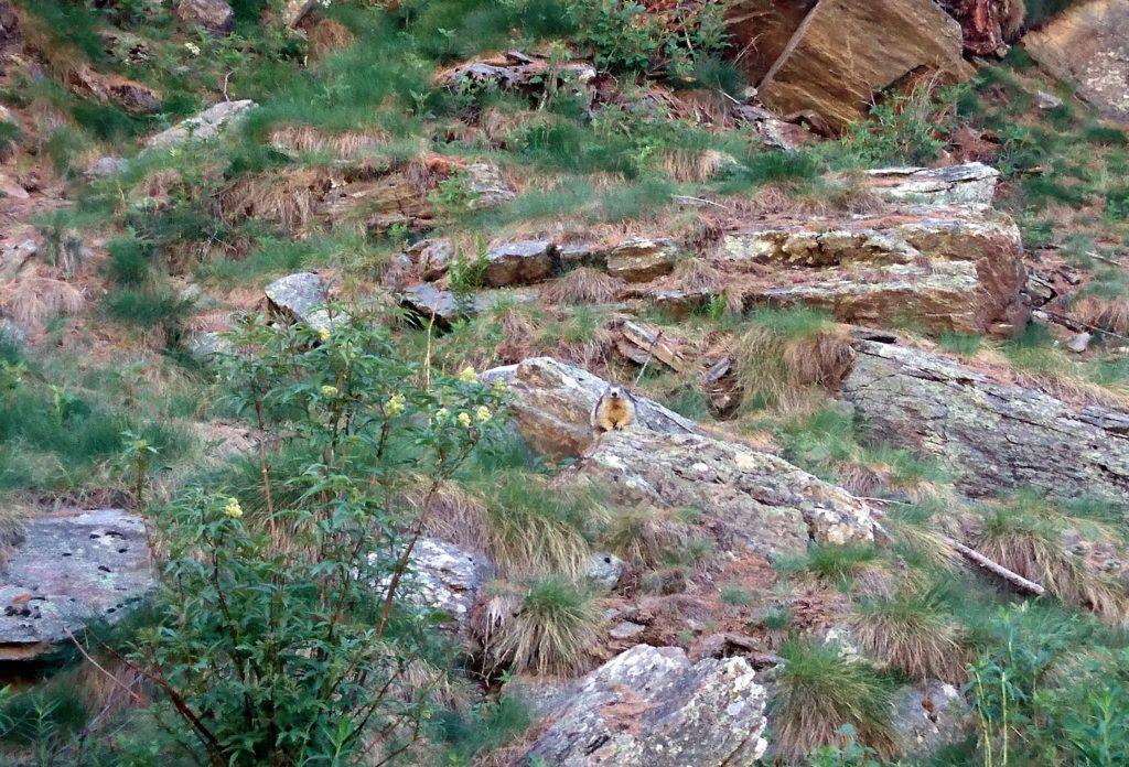 Dopo i primi 100 metri già incontriamo questa simpatica marmotta che ci dà il benvenuto in Valsavarenche