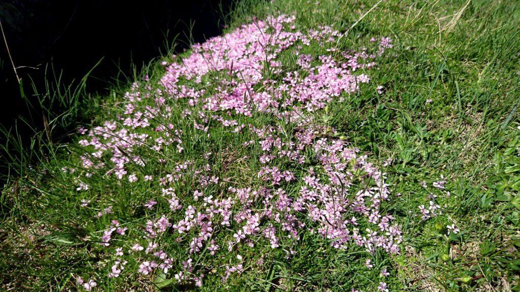 Uno dei tanti tipi di fiori di montagna che oggi hanno fatto da padroni lungo la nostra passeggiata