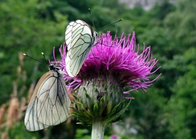 due bellissime farfalle in posa per noi a pochi metri dalla cascata della Merdarola