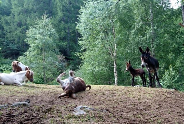Nella radura a monte della cascata, troviamo questo gruppo di asini a cavallini. Un asino si rotola facendoci lo show di benvenuto