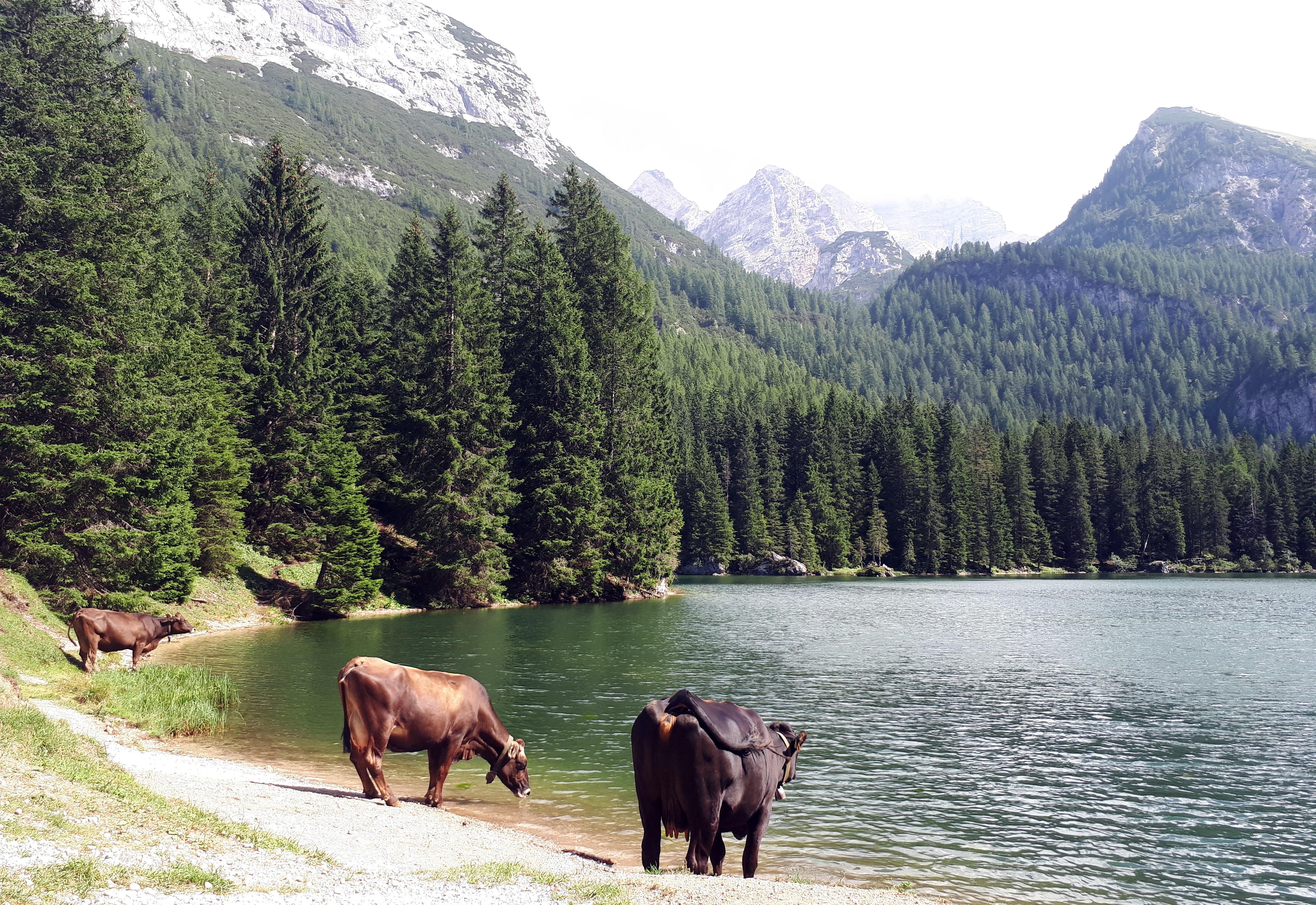 Muuuuuucche all'abbeveratoio naturale regalato dal lago di Valagola. Loro si che stanno bene!