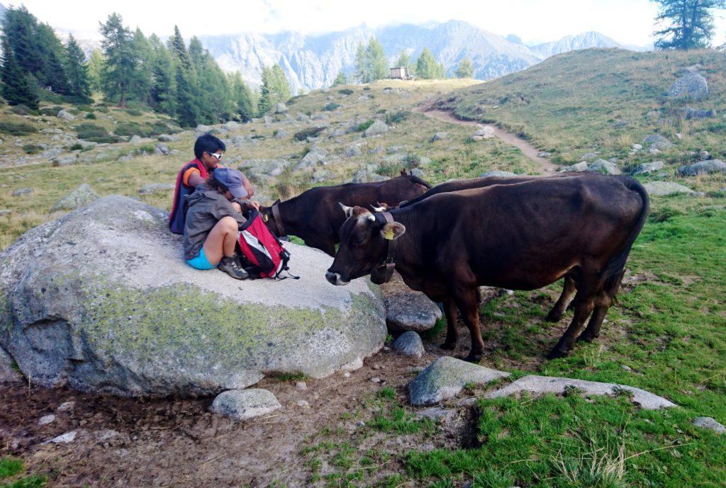 Le socievoli mucche all'alpeggio della malga San Giuliano