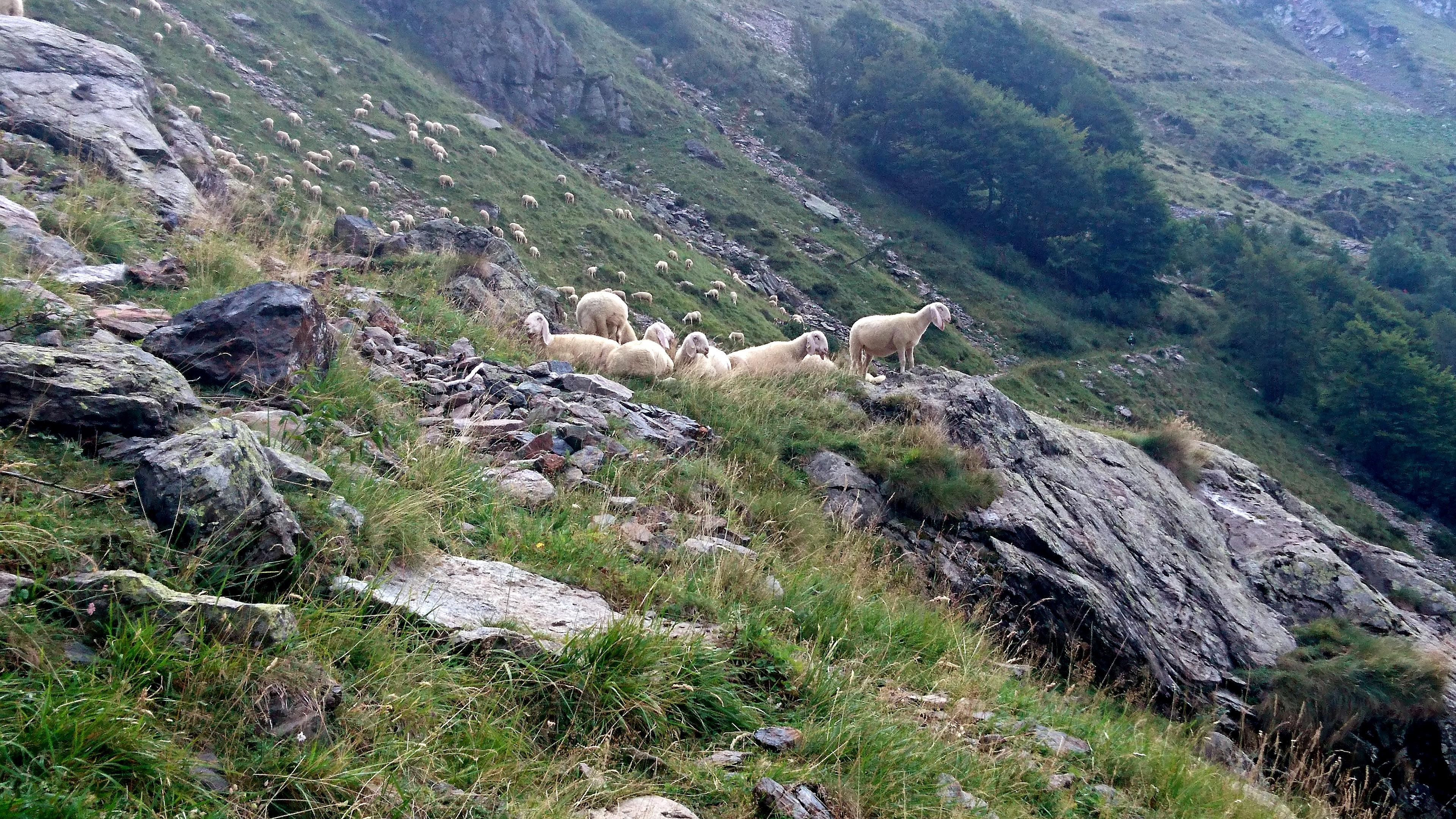 arrivati al bivio tra il sentiero diretto e quello panoramico, troviamo questo enorme gregge di pecore che ci saluta