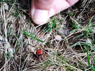 giunti un po' più in basso ci imbattiamo in questo curioso ragno rosso