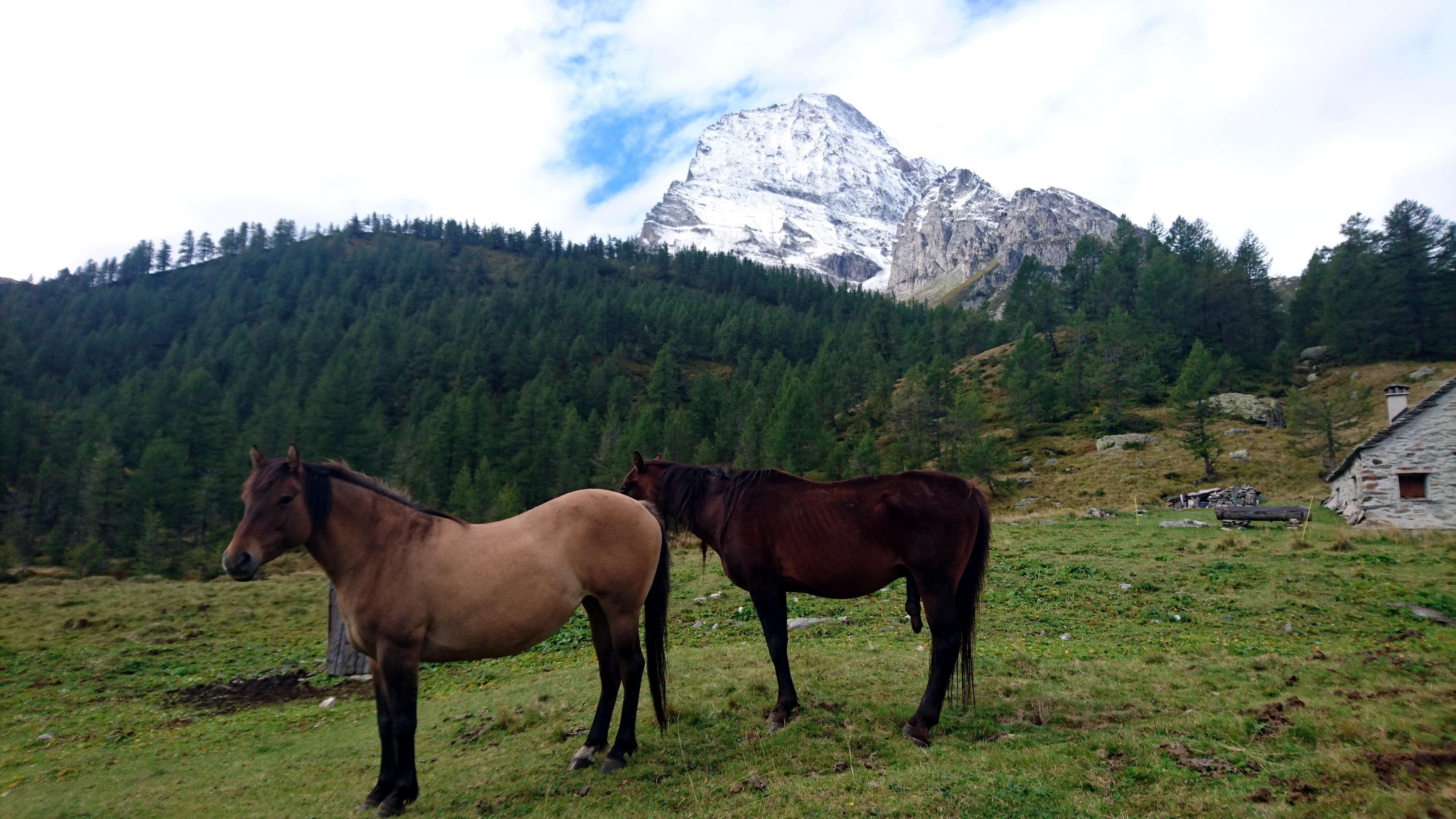 cavalli al pascolo...