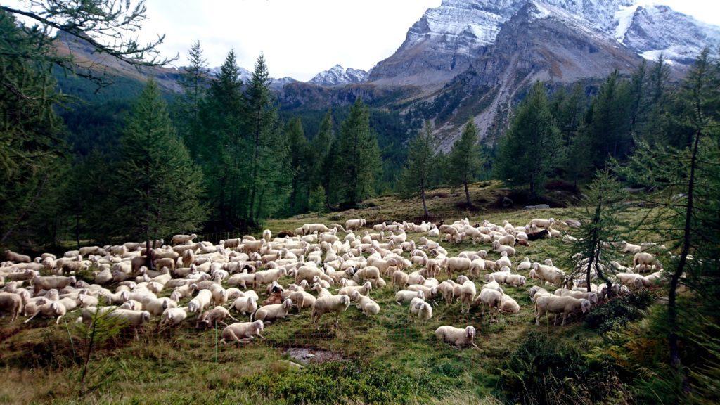 il bianco della neve e quello delle pecore fanno da contrappunto al verde dei boschi