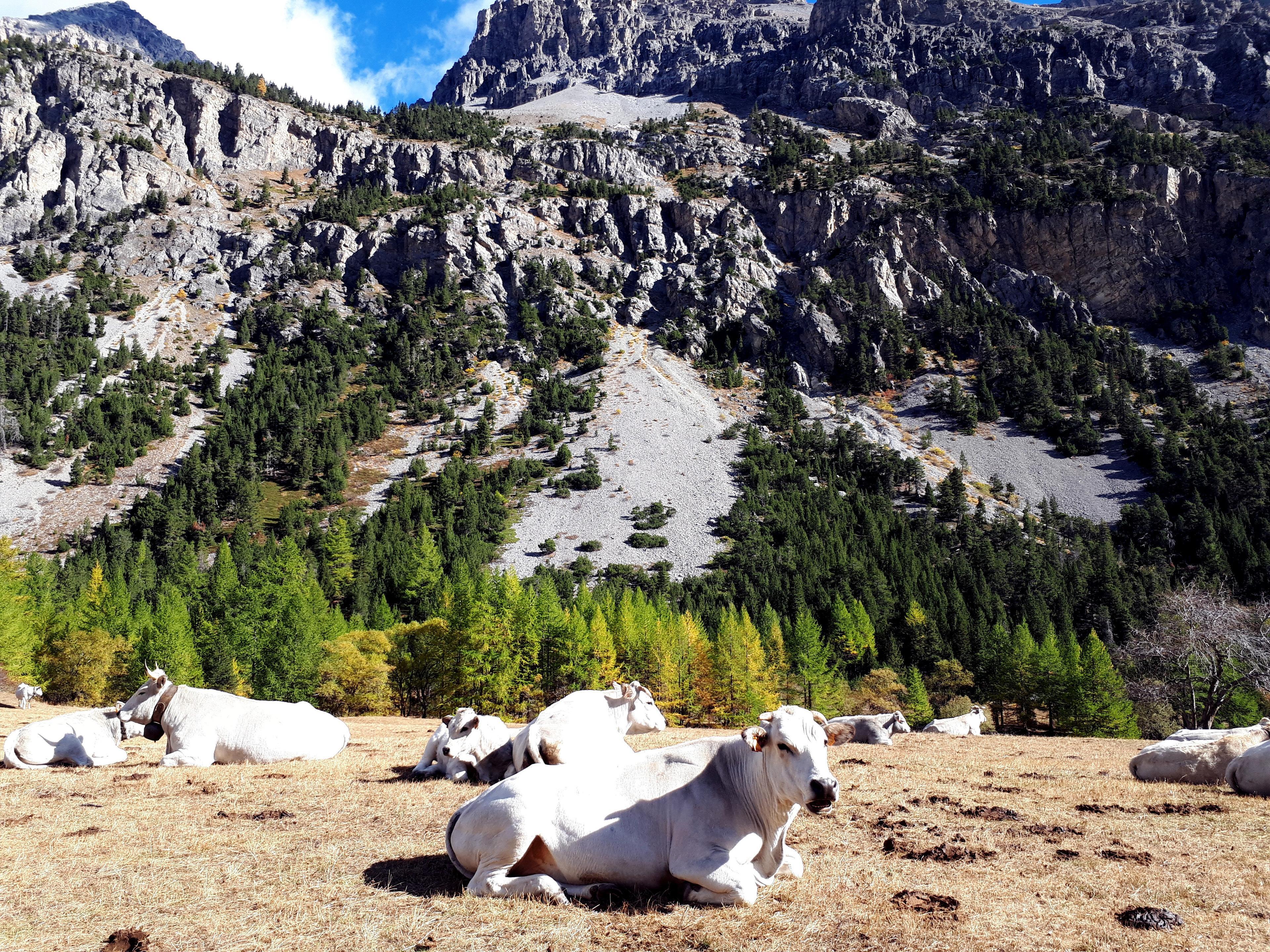 Al pascolo qui in valle ci sono queste bellissime fassone piemontesi, tutte grandi e muscolose