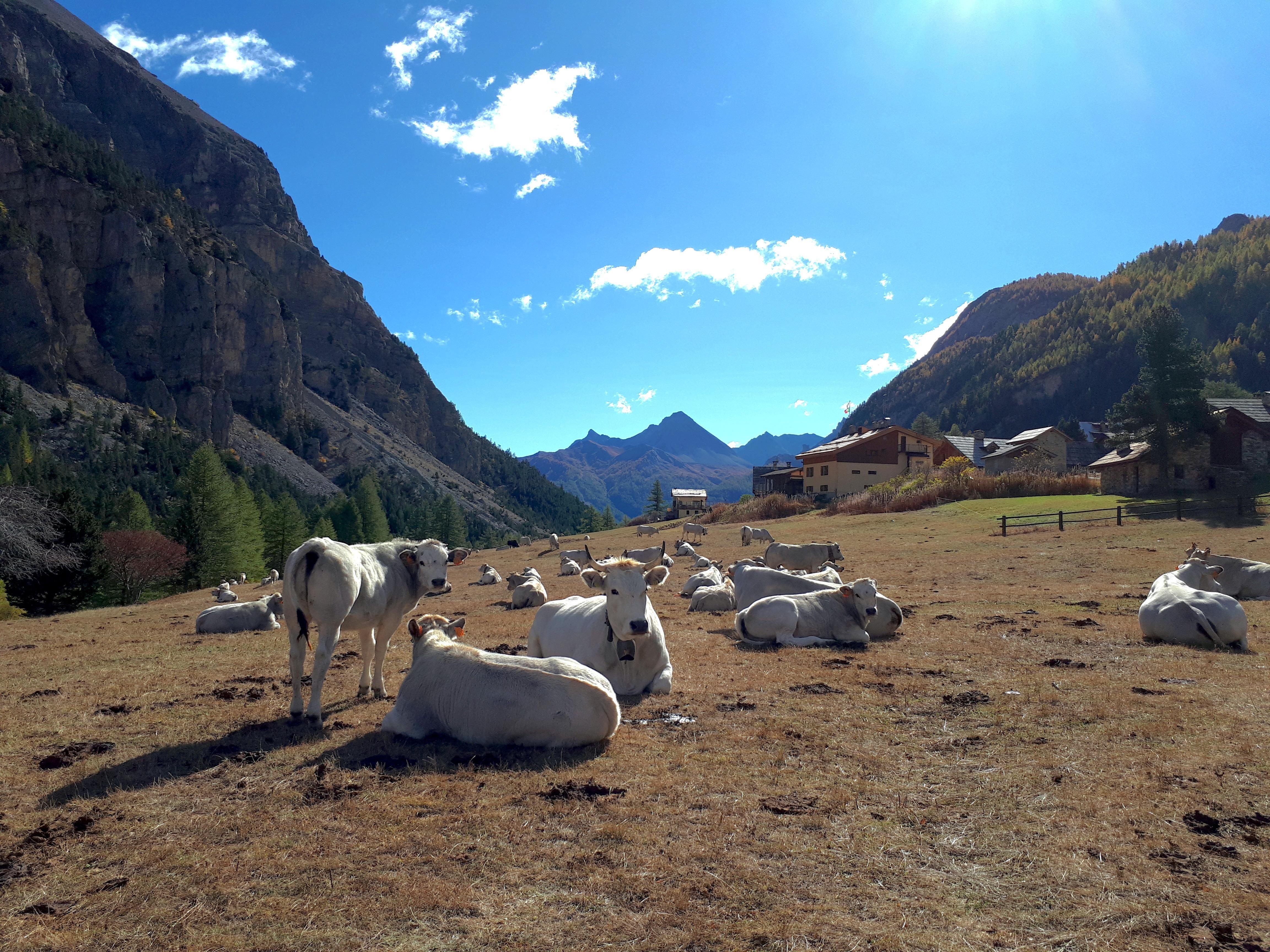 fassone piemontesi al pascolo in valle Stretta