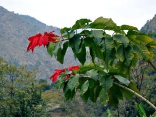 da queste parti la stella di natale è una pianta alta 5-6 metri!