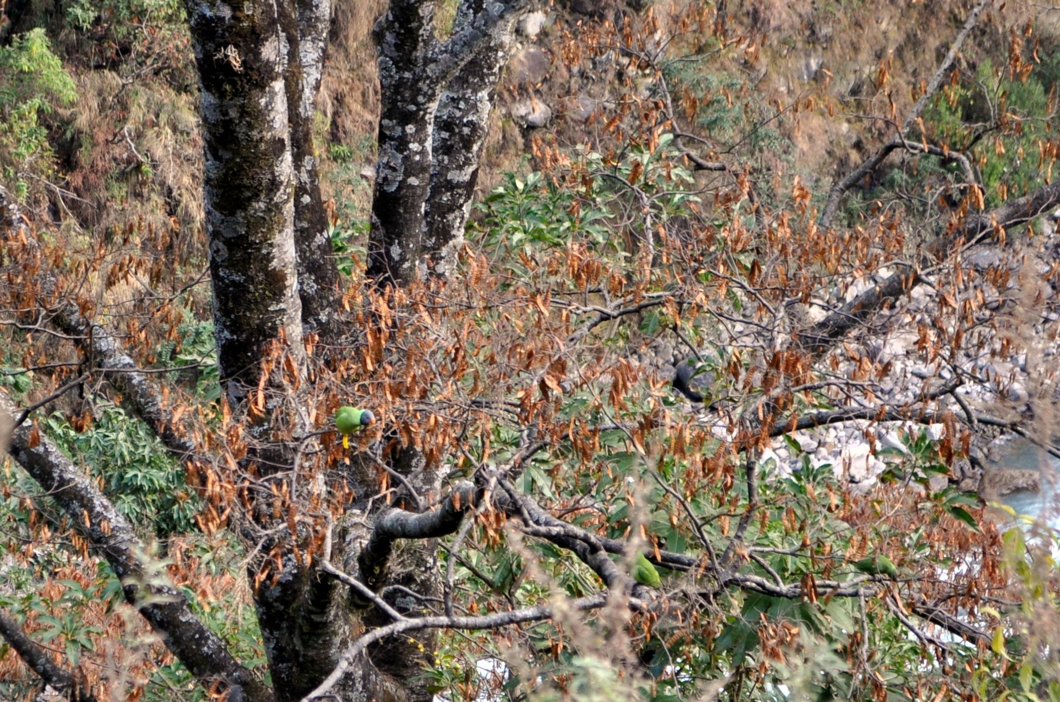 quest'albero è pieno di pappagallini verdi