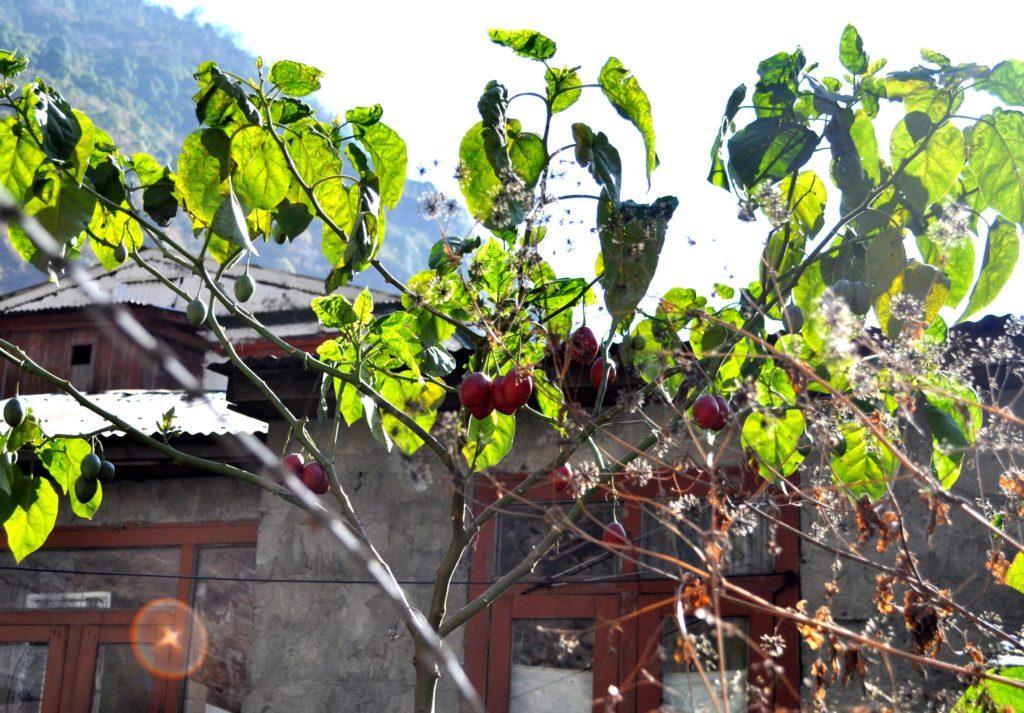 Una pianta di pomodori locali. A vederli così pensavamo fossero prugne o robe del genere!