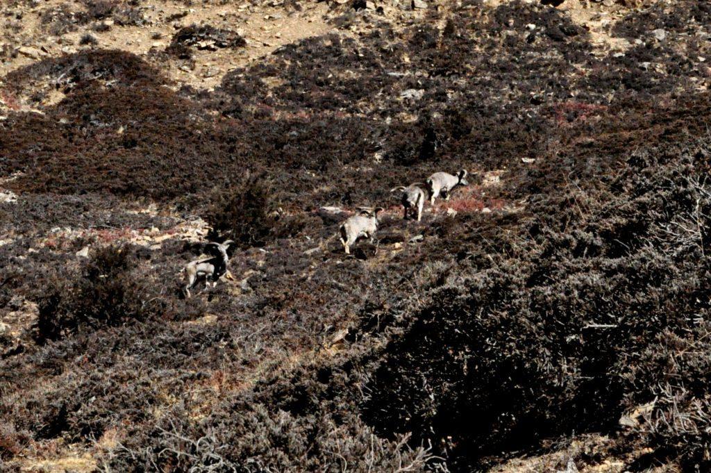 blue sheep che brucano la rada erba commestibile