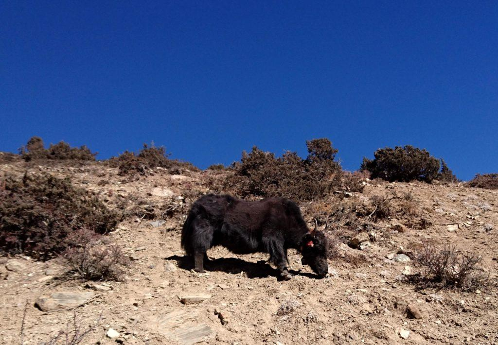 yak, anche loro alla ricerca di qualche cespuglietto commestibile