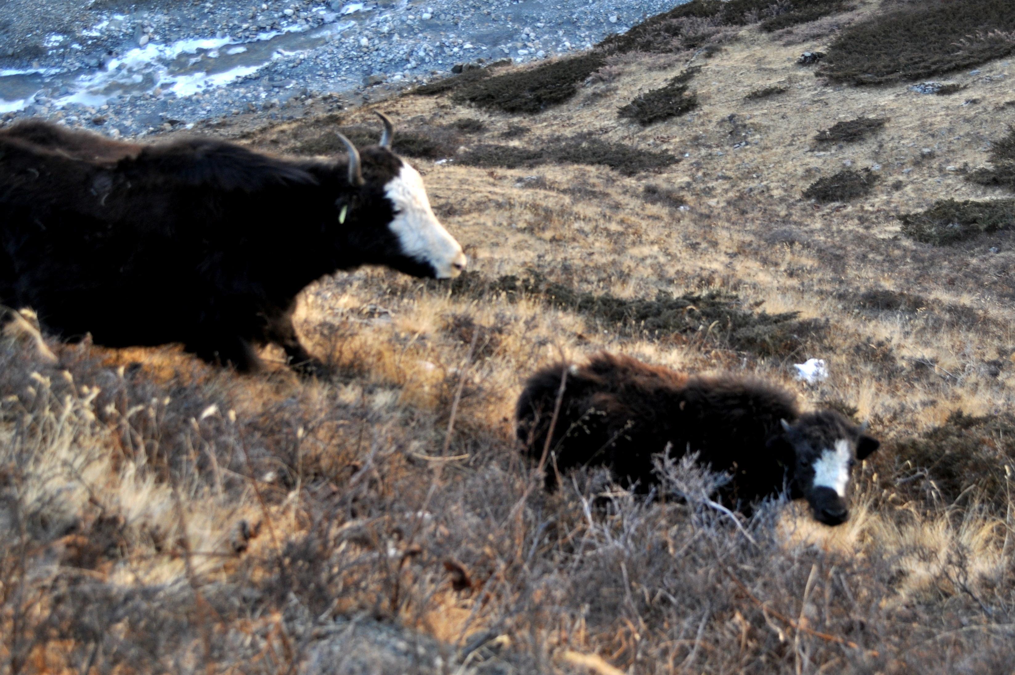famiglie ruminanti