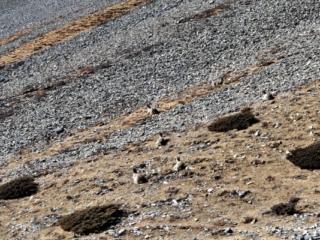 altro gruppo di blue sheep