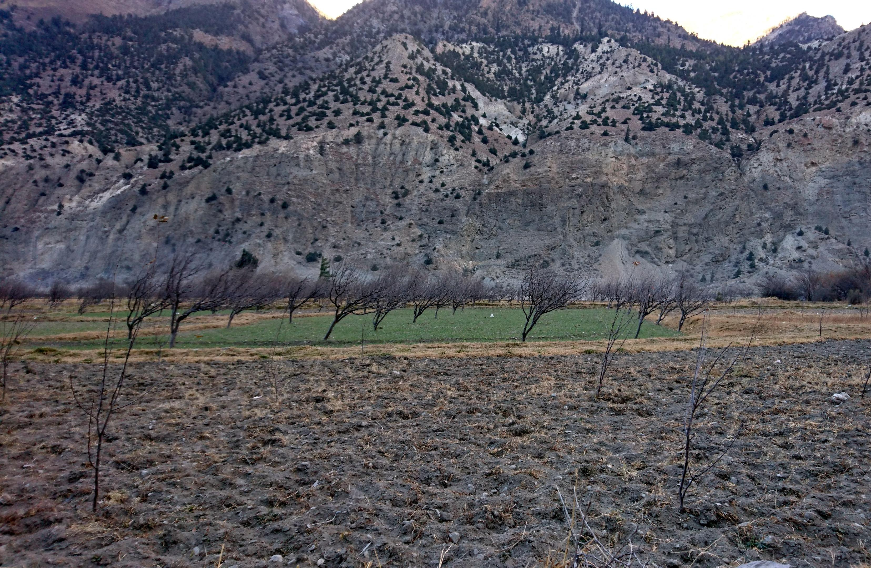 alberi da frutto (meli?) cresciuti con l'inclinazione data loro dal perenne soffiare del vento