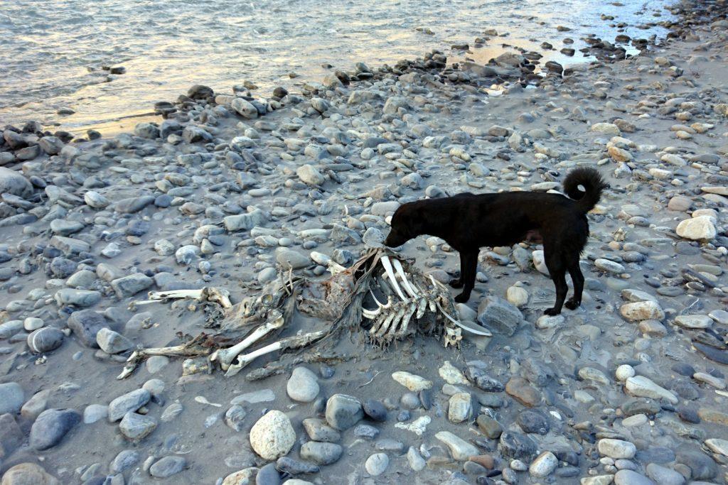 la nostra mascotte alle prese con una carcassa lungo le rive del fiume