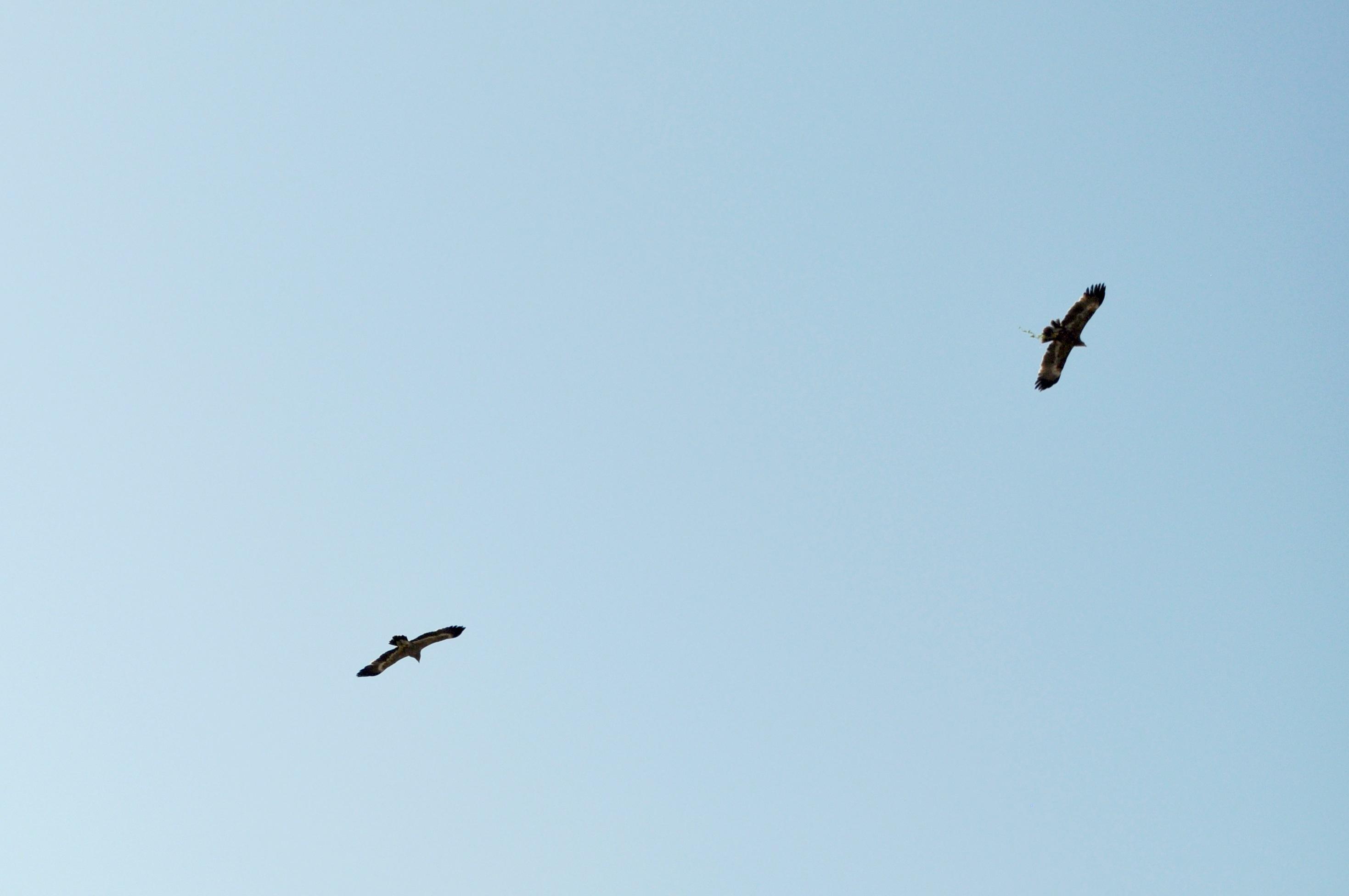 aquile volano nel cielo