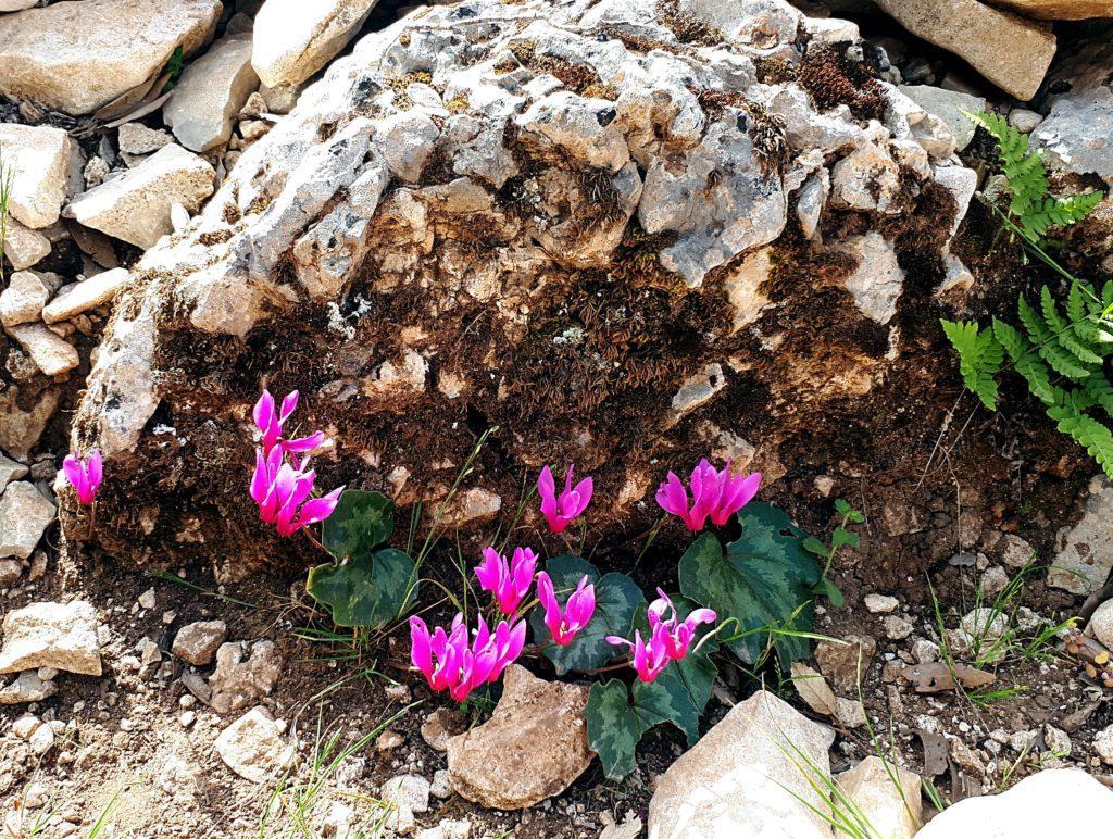 fioriture primaverili di Sardegna: ciclamini