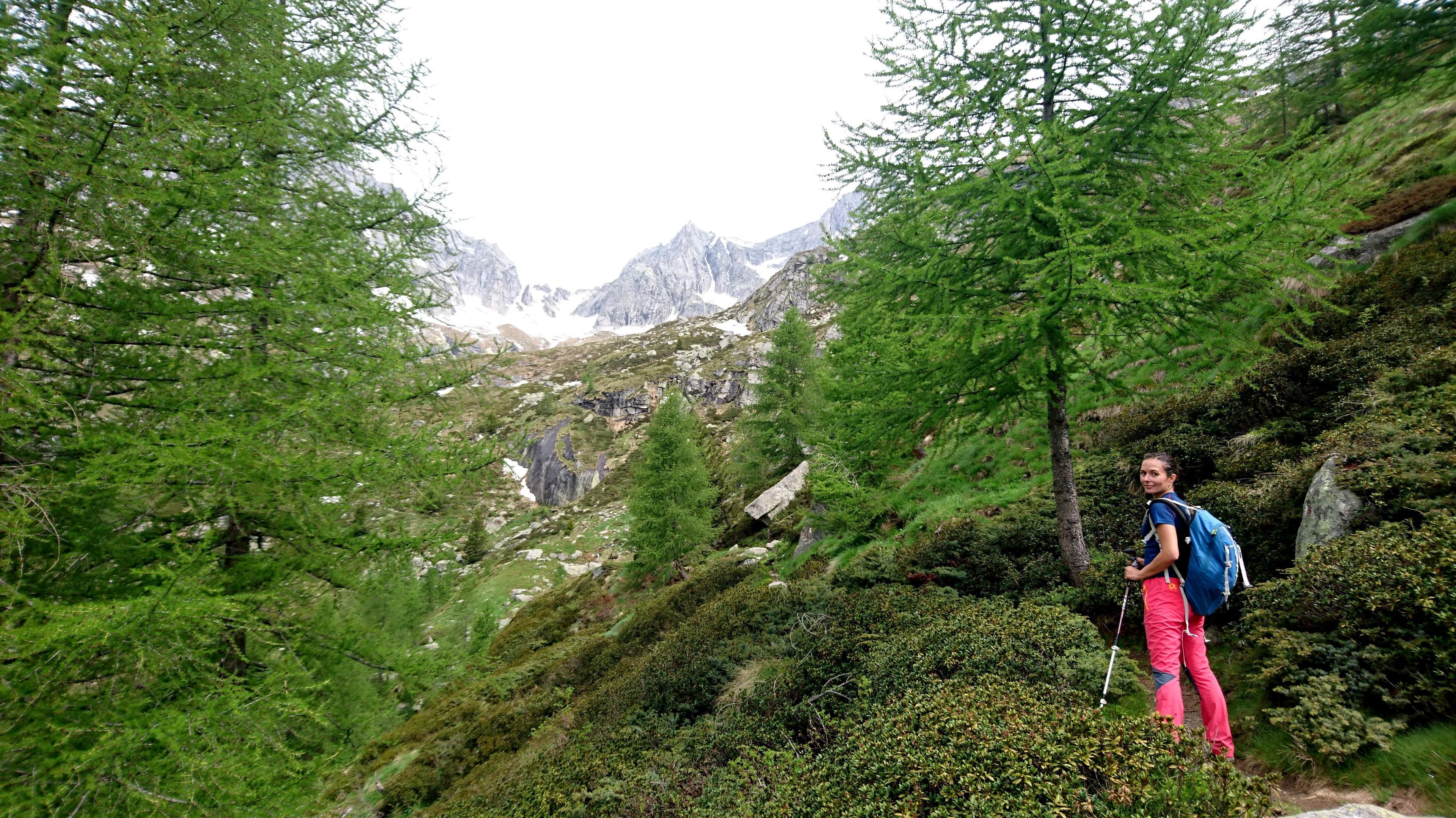 il bosco di conifere cede il posto ai rododendri: quando fioriscono dev'essere uno spettacolo!