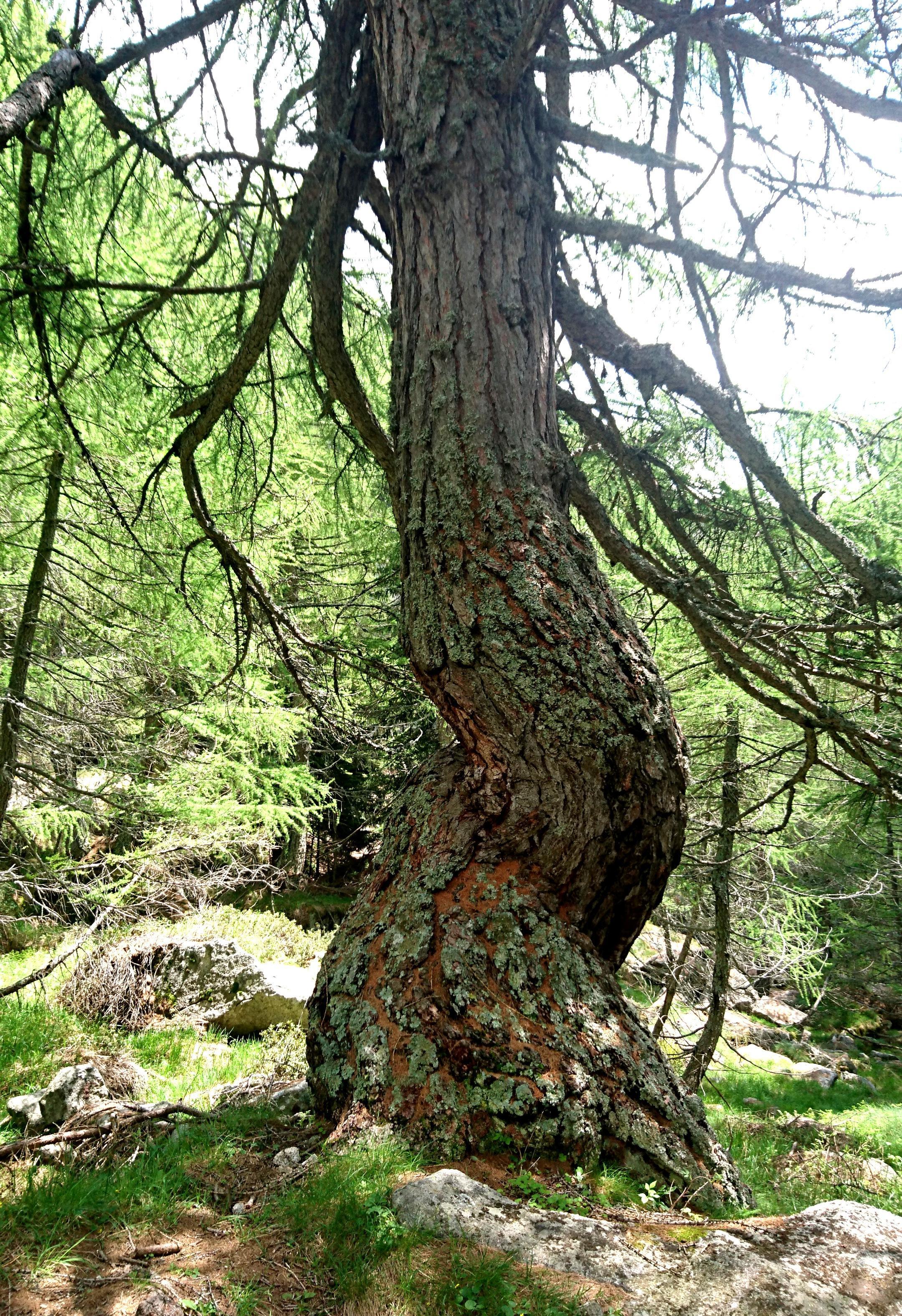 """albero arrotolato su se stesso, detto """"albero cavatappi"""""""