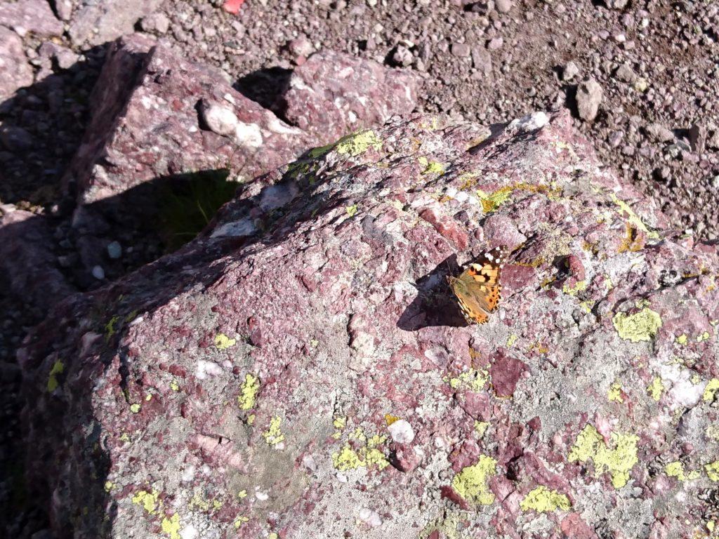 farfalla di vetta su roccia violacea