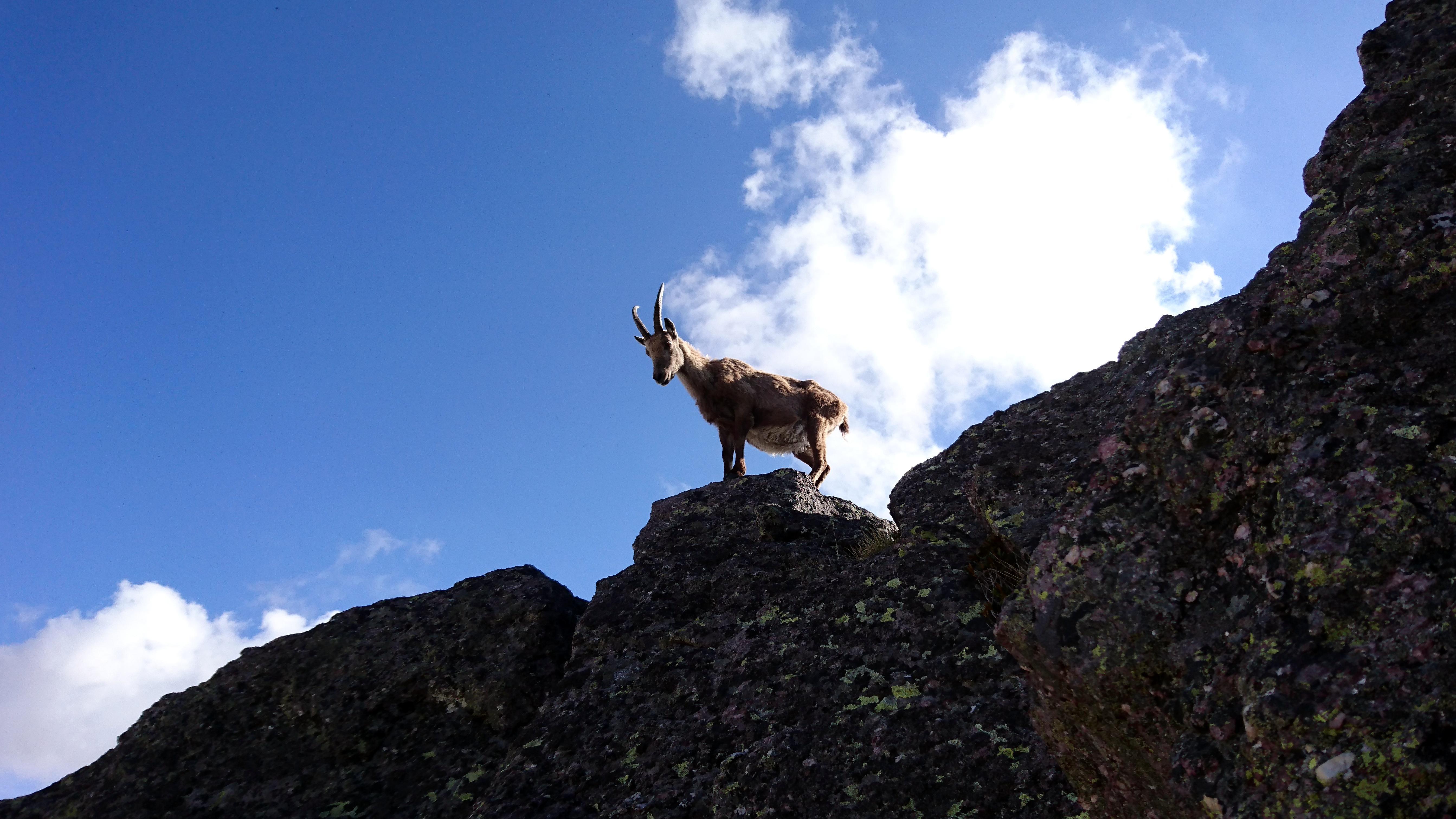 eccolo: il re delle Alpi