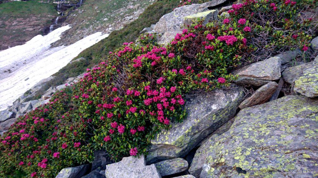 la stagione è quella giusta: ci sono rododendri fioriti ovunque