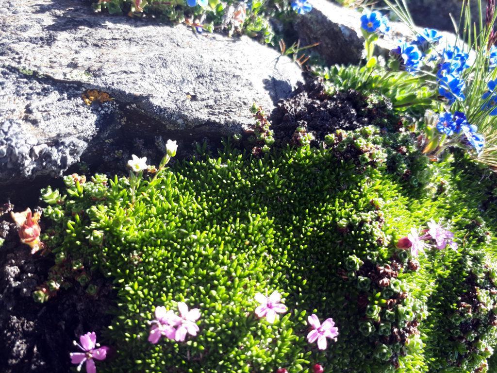 la bellissima fioritura del muschio