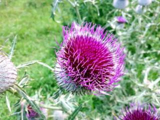 Un coloratissimo fiore di cardo