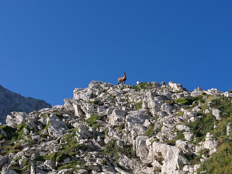 un camoscio al Passo dei Due Corni: la mattina presto ne abbiamo visti moltissimi nel retrostante Vallone dei Ginepri