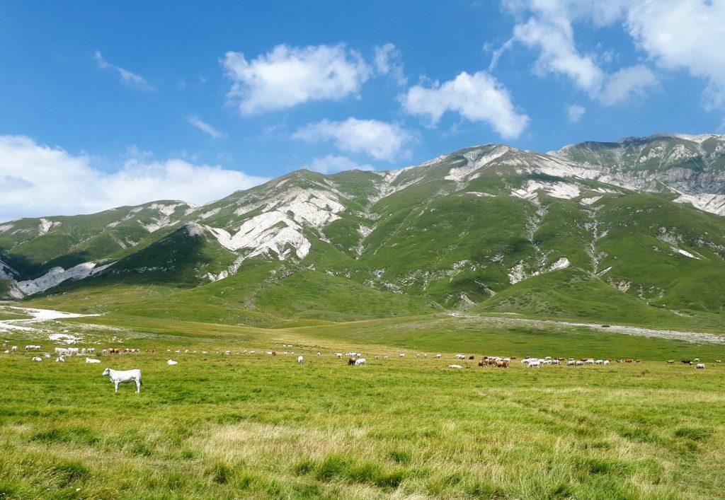 mucche al pascolo presso Campo Imperatore