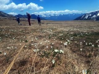 i crocus bianchi e viola colorano gli alpeggi
