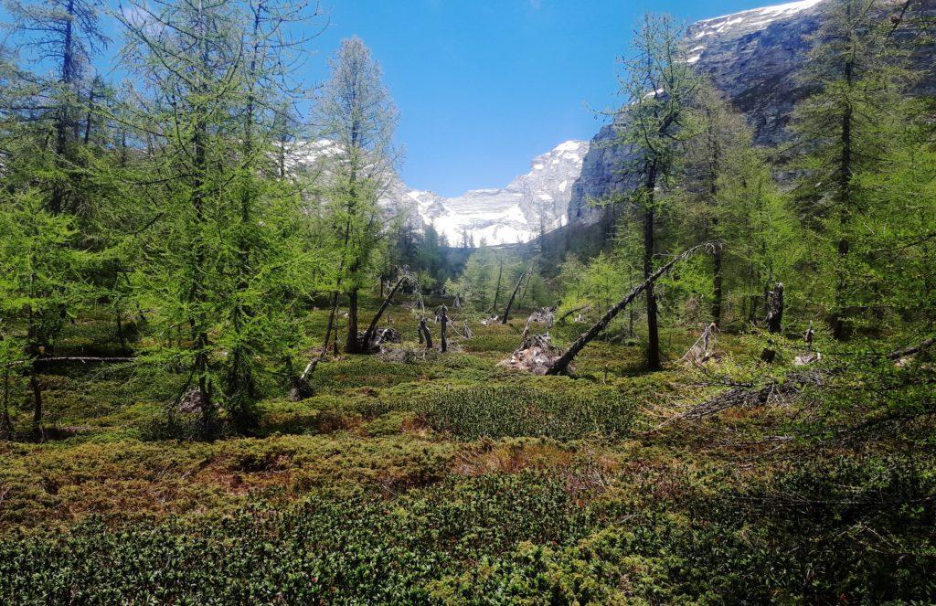 questo bosco se l'è vista brutta (ma guardate la quantità di rododendri e mirtilli!)