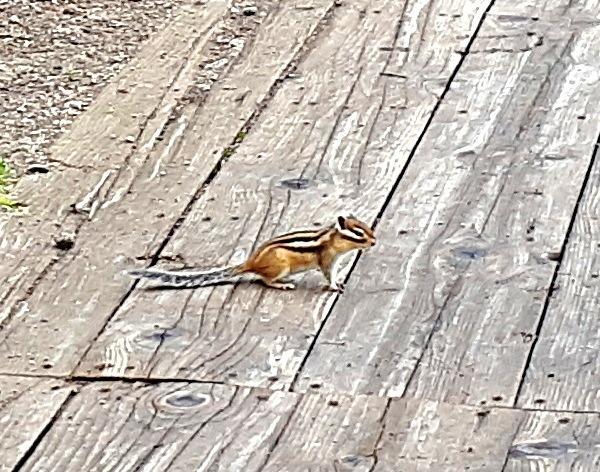 scoiattolino: ce ne sono moltissimi ed è facile vederli da queste parti
