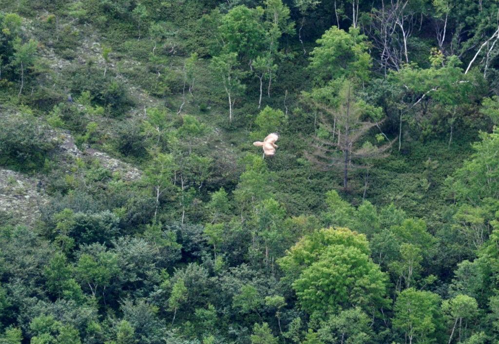 un rapace sta cercando la sua preda: ne abbiamo visti alcuni aggirarsi nei boschi subito sotto la caldera