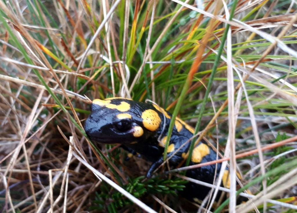 lungo il sentiero: salamandra per nulla timida