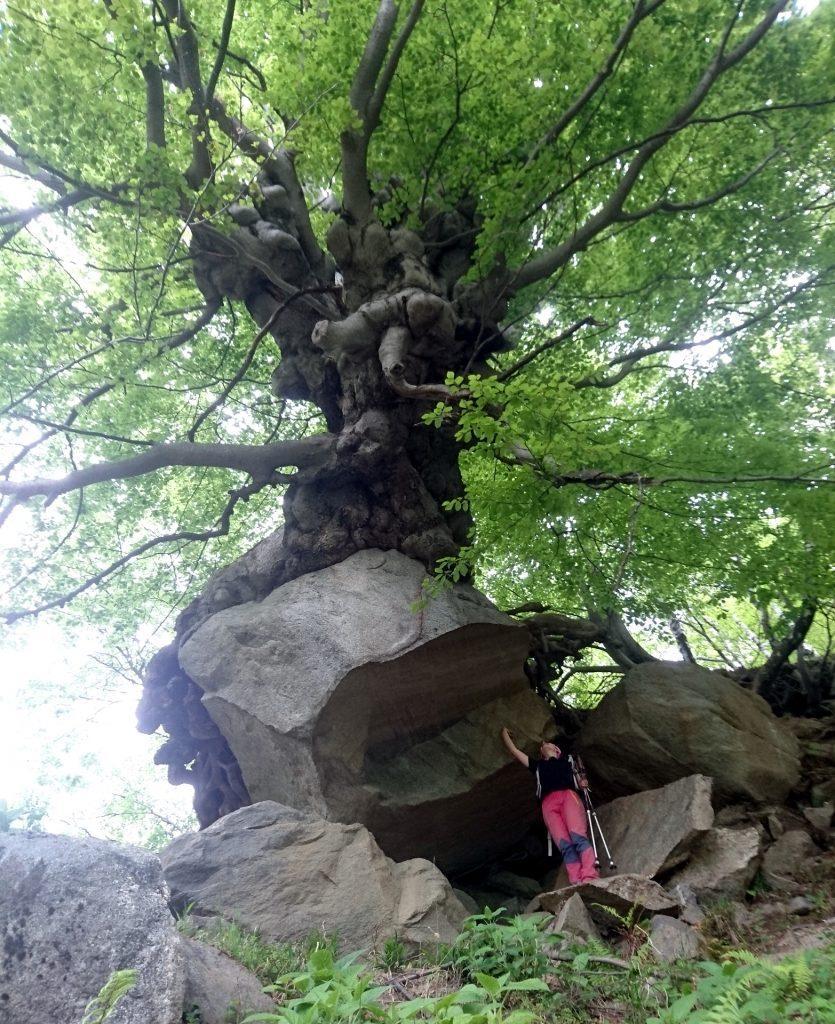 Faggio monumentale che è cresciuto sopra un'enorme boulder di roccia. Fantastico!