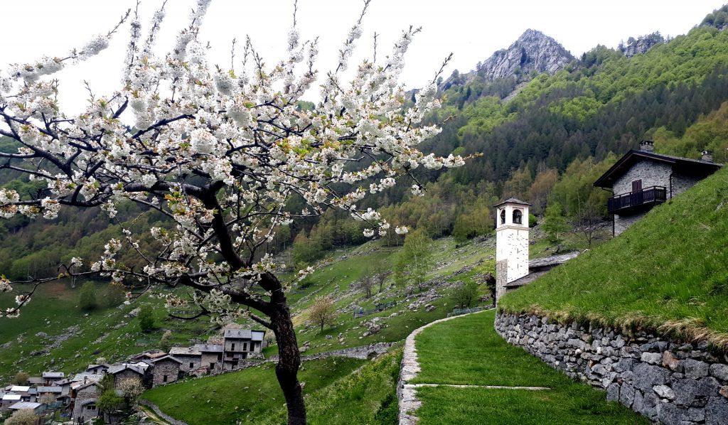 Ciliegio in piena fioritura sul sentiero che conduce alla chiesetta di Frasnedo