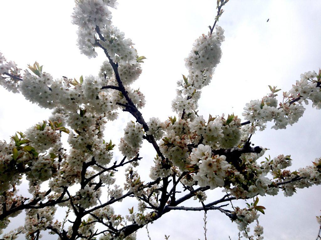 La fioritura del ciliegio, con anche un apetta in alto a destra che ne sta raggiungendo i fiori