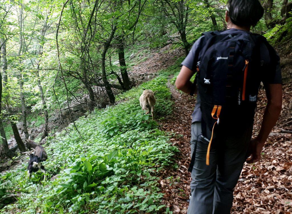 Incrociamo un gruppo di capre che ci bloccano il sentiero ma avvicinandoci ci liberano la strada