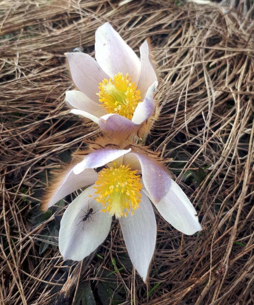 formichina a spasso per fiori